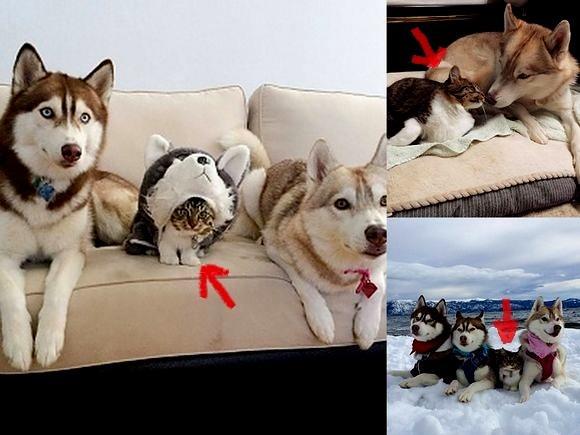 Psy husky zaopiekowały się porzuconym kotkiem, który... myśli, że jest wielkim psem! [UROCZA GALERIA]