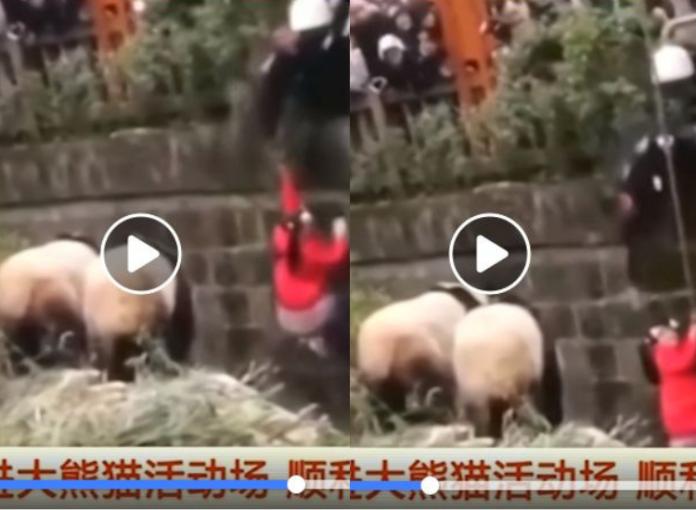 Mała dziewczynka wpadła do zagrody pand wielkich... Przerażające nagranie!